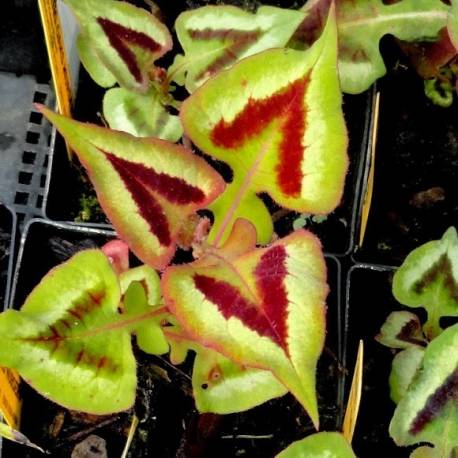 Rdest 'Purple Fantasy' Persicaria microcephala