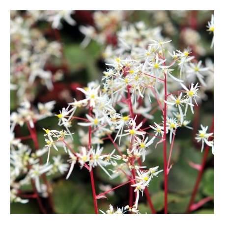 Skalnica zarzyczkolistna 'Rubrifolia' Saxifraga cortusifolia