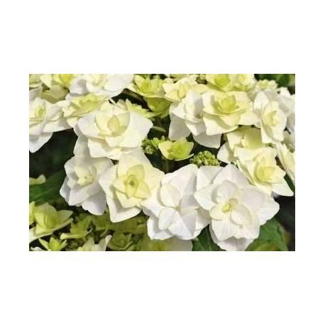 Hortensja ogrodowa 'Dancing Snow' Hydrangea macrophylla