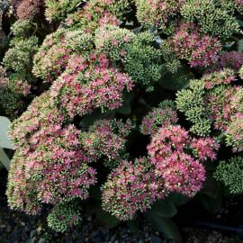 Rozchodnik 'Pool Party' Sedum