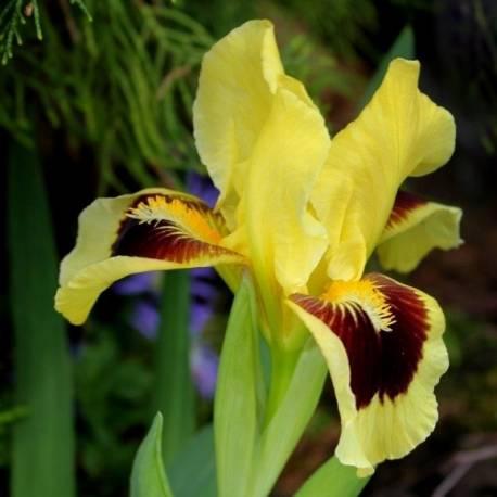 Kosaciec niski 'Ritz'  Iris x barbata