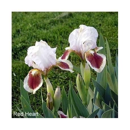 Kosaciec bródkowy 'Red Heart' Iris x barbata