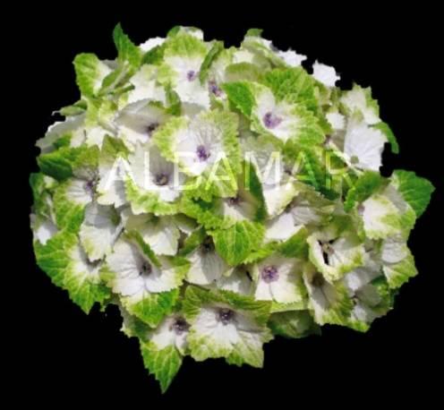 Hortensja ogrodowa 'Magical Noblesse' Hydrangea macrophylla