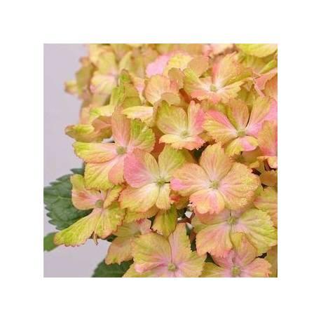 Hortensja ogrodowa 'Fantasia' Hydrangea macrophylla