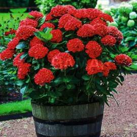 Hortensja ogrodowa 'Speedy Red'  Hydrangea macrophylla