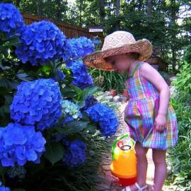 Hortensja ogrodowa 'Jip Blue' Hydrangea macrophylla