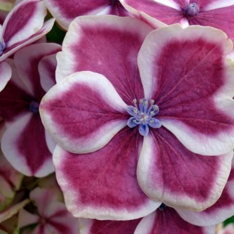 Hortensja ogrodowa 'Camilla' Hydrangea macrophylla