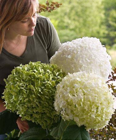 hortensja drzewiasta 39 incrediball 39 hydrangea arborescens albamar. Black Bedroom Furniture Sets. Home Design Ideas