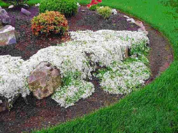 Macierzanka piaskowa 'Albus' Thymus serphyllum