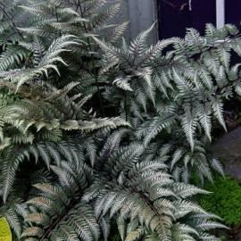 Wietlica japońska 'Pictum' Athyrium nipponicum