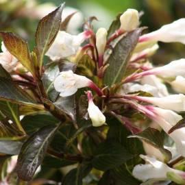 Krzewuszka cudowna 'Black and White' Weigela florida