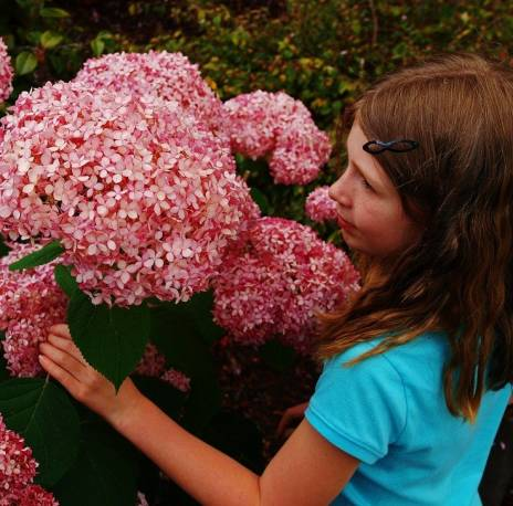 Hortensja drzewiasta 'Invincibelle Spirit'  PINK ANNABELLE Hydrangea arborescens