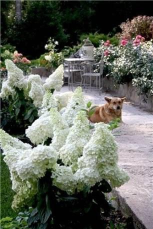 Hortensja bukietowa 'Magical Moonlight' Hydrangea paniculata