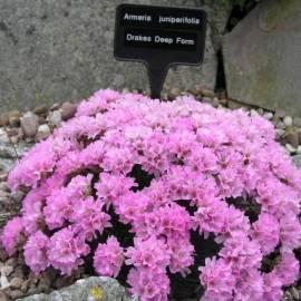 Zawciąg jałowcolistny Armeria juniperifolia