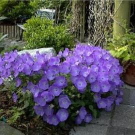 Dzwonek karpacki 'Dark Clips Blue' Campanula carpatica