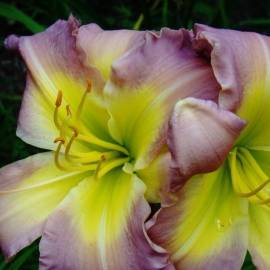 Liliowiec 'Regency Heights'  Hemerocallis