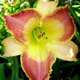 Liliowiec 'Lotus Position' Hemerocallis