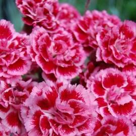 Goździk 'Sugar Plum' Dianthus