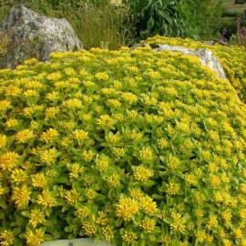 Rozchodnik kamczacki 'Selsie Yellow Stars' Sedum kamtschaticum