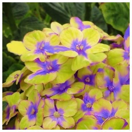 Hortensja ogrodowa 'Magical Amethyst' Hydrangea macrophylla