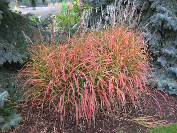 Ornamental Grasses Red Reviews  Online Shopping