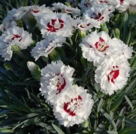 Goździk 'Coconut Sundae' Dianthus