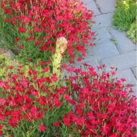 Goździk kropkowany 'Flashing Lights' Dianthus deltoides