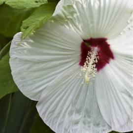 Ketmia bylinowa 'Old Yella' Hibiscus moscheutos