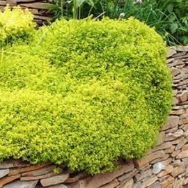 Macierzanka cytrynowa 'Aureus' Thymus x citriodorus