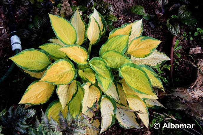 Funkia 'Orange Dream' Hosta