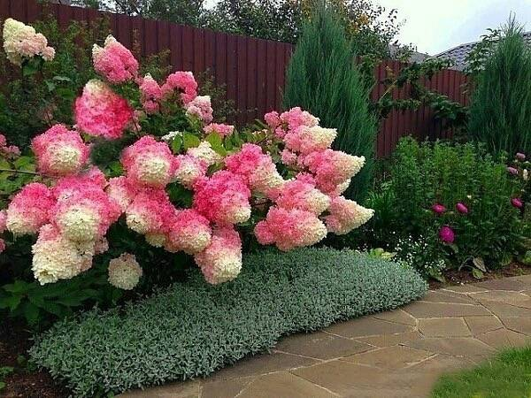 hortensja bukietowa 39 vanille fraise 39 hydrangea paniculata albamar. Black Bedroom Furniture Sets. Home Design Ideas