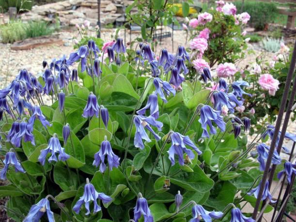 Powojnik całolistny 'Blue Ribbons' Clematis integrifolia