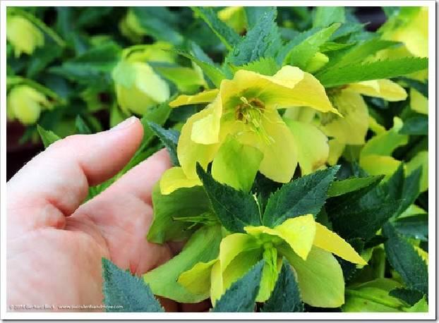 Ciemiernik wschodni 'Yellow Lady' Helleborus orientalis