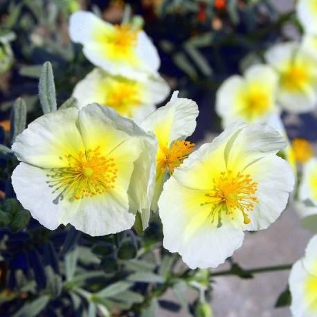 Posłonek 'The Bride' Helianthemum hybridum