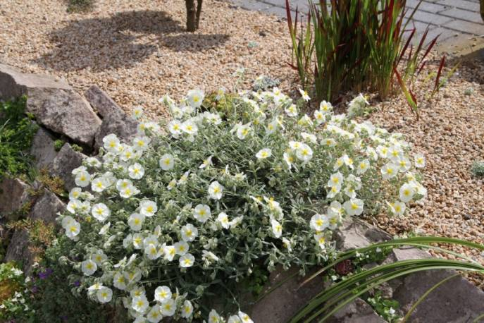 Posłonek 'The Bride' Helianthemum hybridum