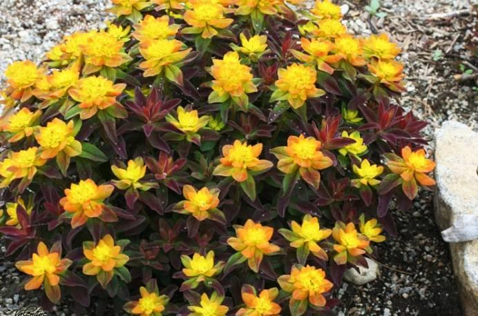 Wilczomlecz złocisty 'Bonfire' Euphorbia polychroma
