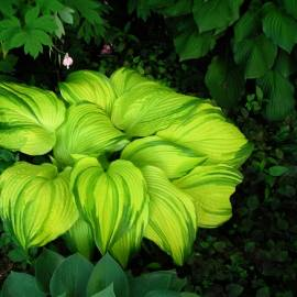 Funkia 'On Stage' Hosta