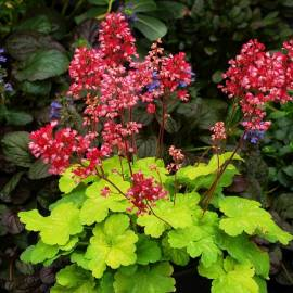 Żurawka LITTLE CUTTIE 'Sweet Tart' Heuchera