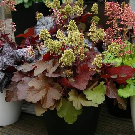 Żurawka LITTLE CUTTIE 'Blondie' Heuchera