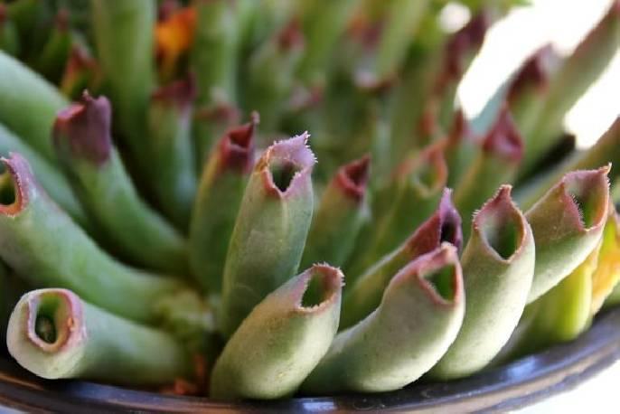 Rojnik 'Nobbit' Sempervivum hybridum