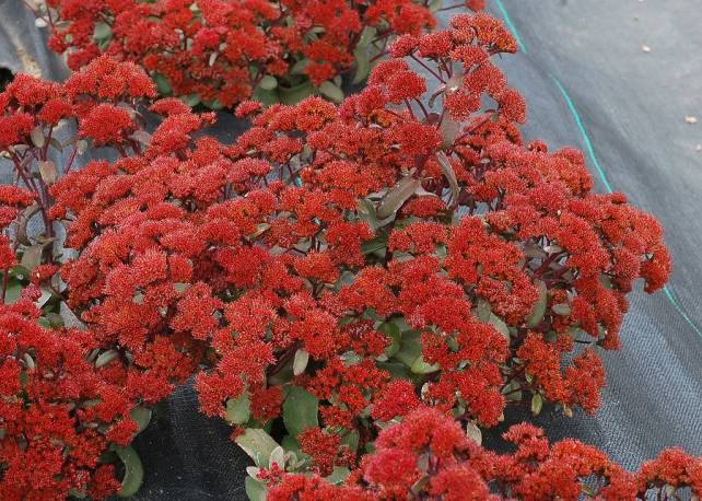 Rozchodnik 'Desert Red' Sedum