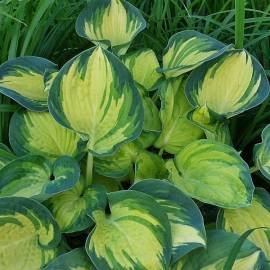 Funkia 'Beach Boy' Hosta