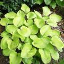 Funkia 'Glad Tidings' Hosta