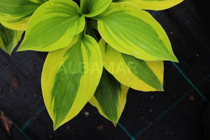 Funkia 'Moon Split' Hosta