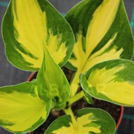 Funkia 'Morning Star' Hosta