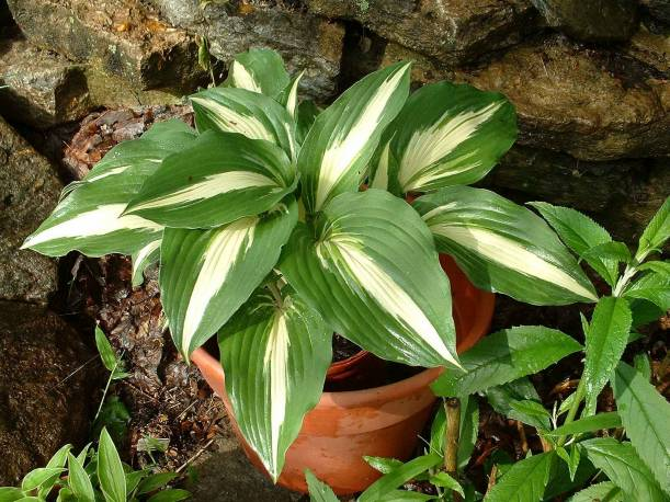 Funkia 'Night Before Christmas' Hosta