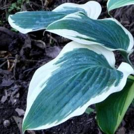 Funkia 'Orion's Belt' Hosta