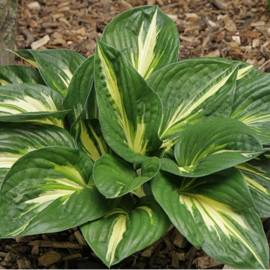 Funkia 'Sting' Hosta
