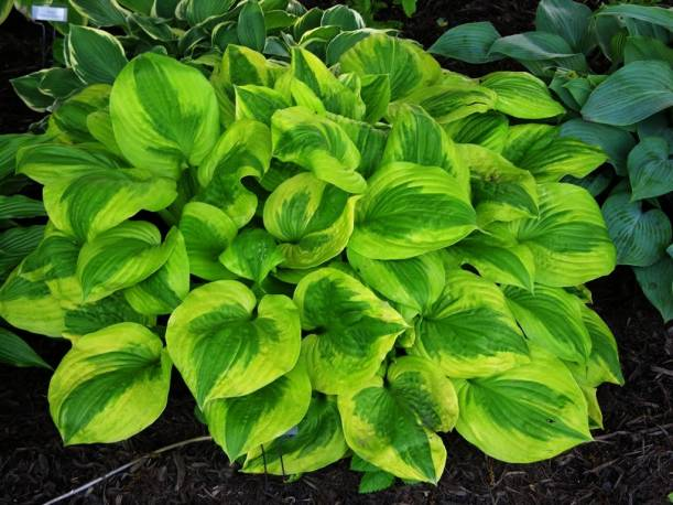 Funkia 'Summer Breeze' Hosta