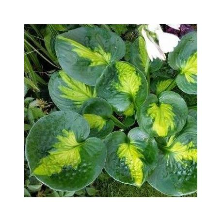 Funkia 'Sunset Grooves' Hosta